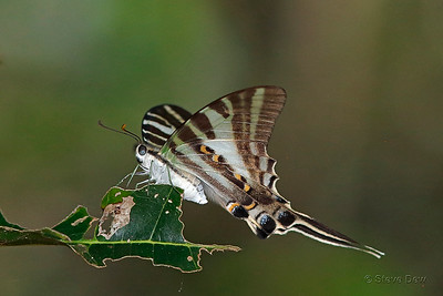 Four-barred Swordtail - Female