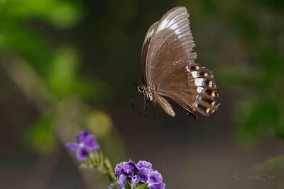 Fuscous Swallowtail