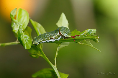 Fuscous Swallowtail Caterpillar