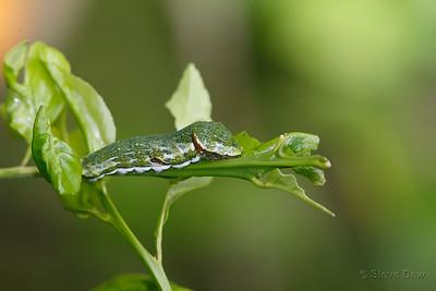 Fuscous Swallowtail Caterpillar