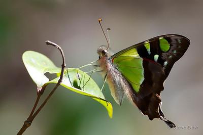 Macleay's Swallowtail