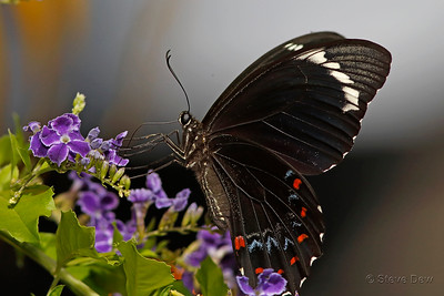 Orchard Swallowtail - Male