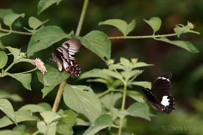 Orchard Swallowtails - Male and Female