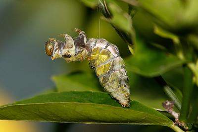 Orchard Swallowtail