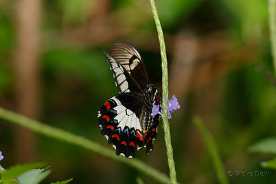Orchard Swallowtail - Female