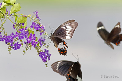Orchard Swallowtails