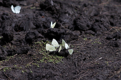 Cabbage Whites