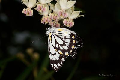 Caper White on Cottonbush Flower