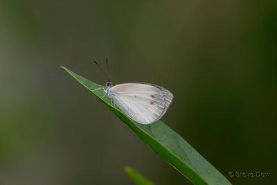 Delicate Pearl-white