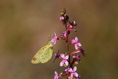 Large Grass-yellow on Grassy-leaved Trigger-flower