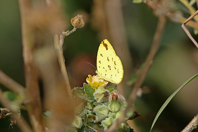 Large Grass-yellow