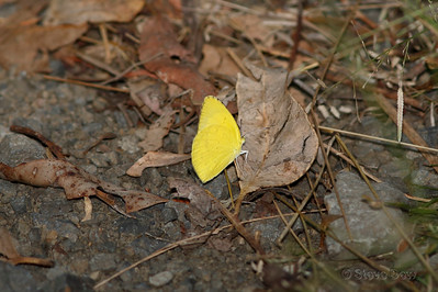 Large Grass-yellow