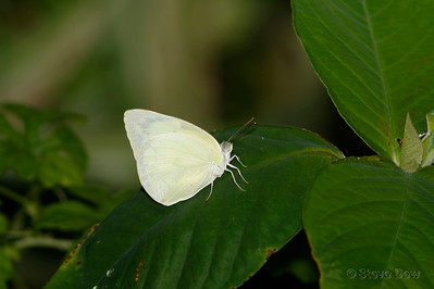 Lemon Migrant
