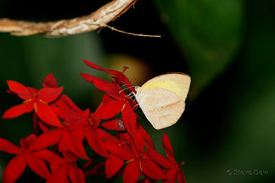 Lined Grass-yellow