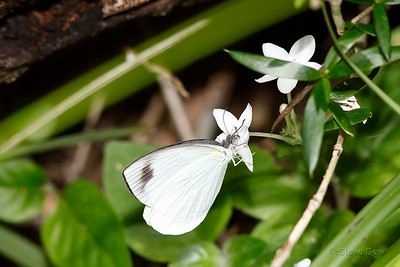 Narrow-winged Pearl-white on Love Flower