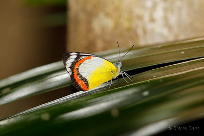 Red-banded Jezebel