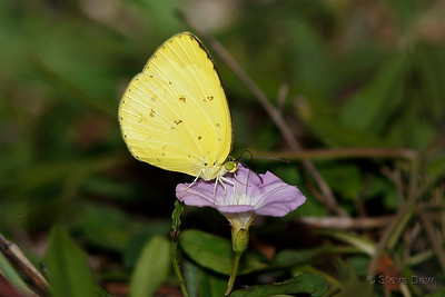 Small Grass-yellow on Convovulus