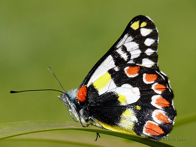 Red-spotted Jezebel