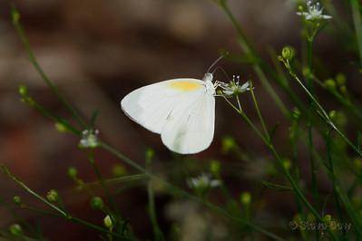 Striated Pearl-white