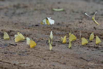 Yellow Albatross Butterflies - Male