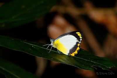 Yellow-banded Jezebel