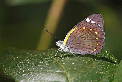 Yellow-spotted Jezebel