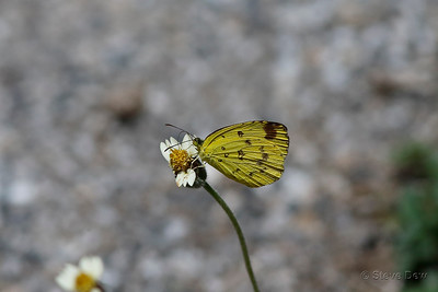 Common or Large Grass-yellow