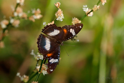 Varied or Common Eggfly - Female
