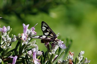 Tiger or Wasp Moth