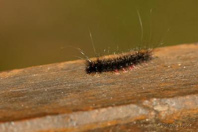 Unknown Moth Larvae