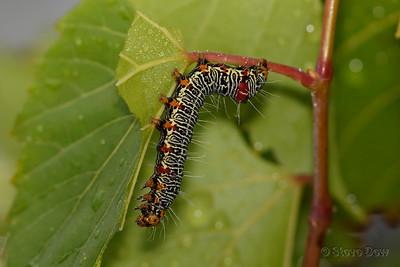 Grape Vine Moth Larvae