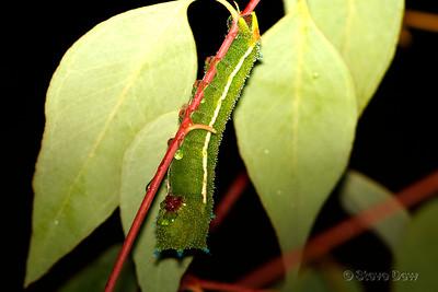 Helena Gum Moth Caterpillar