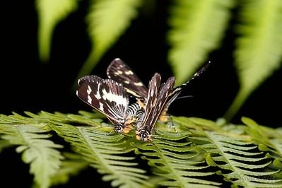 Forest Day Moth - Ménage à Trois