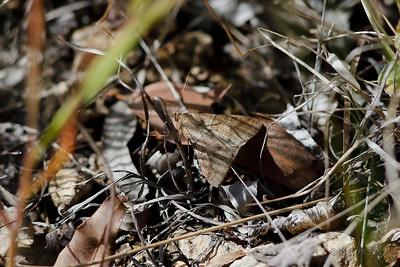 photographed at Mount Britton township, Homevale National Park, west of Mackay.