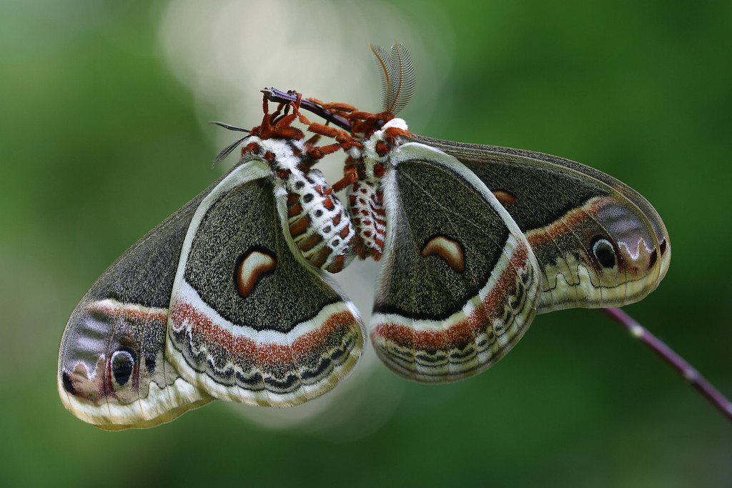Mates - Cecropia Moths: 1st Prize, CT Audubon Society Photo Contest 2009 - for 12x18 prints