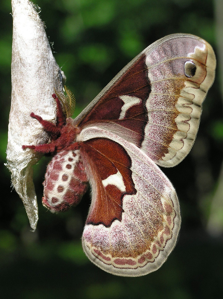 Promethea Moth (female)