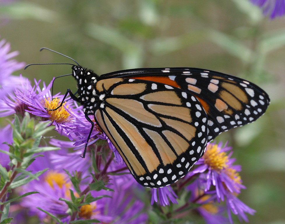 Monarch on New England Asters - For 11x14 Prints