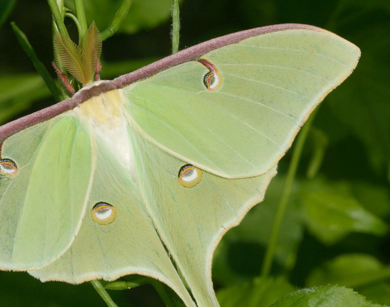 Luna Moth - For 11x14 Prints