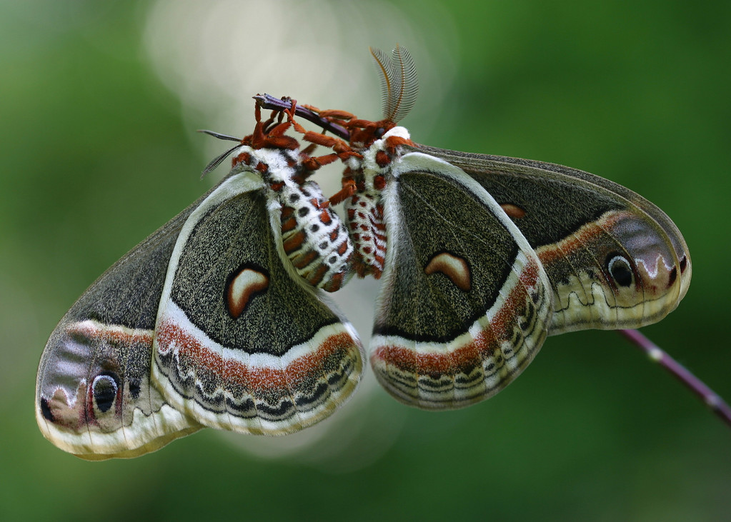 Mates - Cecropia Moths: 1st Prize, CT Audubon Society Photo Contest 2009 - for 5x7 prints