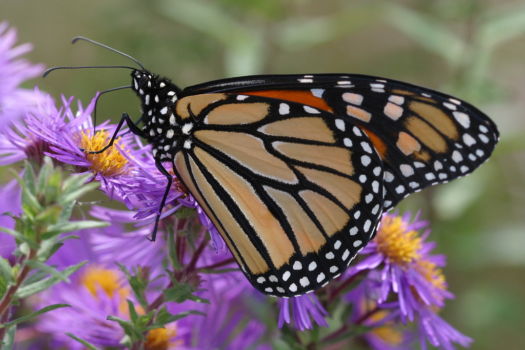 Monarch on New England Asters