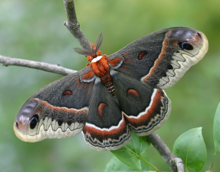 Cecropia Moth - for 11x14 Prints
