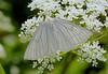 Siona lineata, Black-veined moth, Hvidvingemåler, Rudersdal, Danmark, Jun-2014