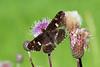 Map butterfly, Nældesommerfugl, Araschnia levana, Rudersdal, Danmark, Jul-2013