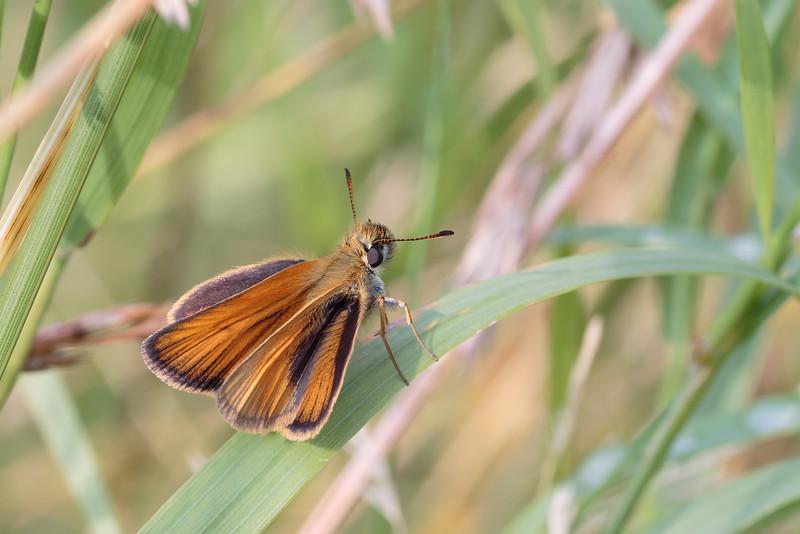 Stregbredpande (Thymelicus lineola)