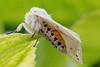 White ermine, Spilosoma lubricipeda, Almindelig tigerspinder, Rudersdal, Danmark, Jun-2014