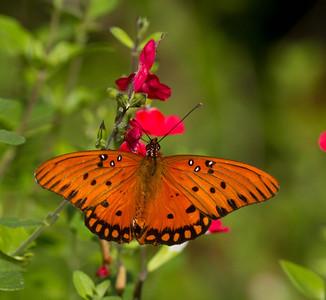 Gulf Fritillary Butterfly Encinitas 2013 11 18_-1.CR2