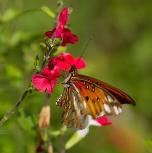 Gulf Fritillary Butterfly Encinitas 2013 11 18_-2.CR2