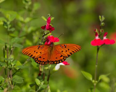 Gulf Fritillary Butterfly Encinitas 2013 11 18_.CR2