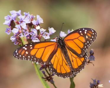 Monarck Butterfly  Encinitas 2009 11 23 (3 of 3).CR2