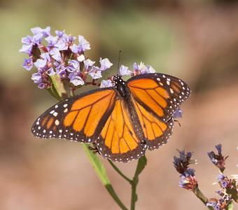 Monarck Butterfly  Encinitas 2009 11 23 (2 of 3).CR2